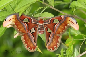 Highlight for Album: 2014»ñ¶é²ß§@¡V¬Ó¸¿ Attacus atlas Mating ¥æ§À¤¤ 20140411
